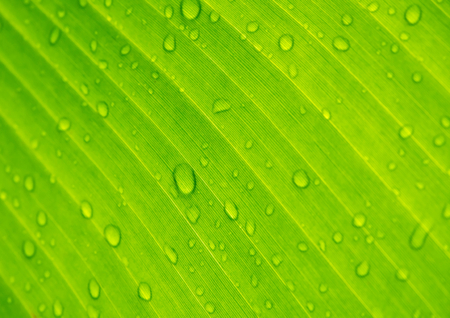 Photo for Closeup  drops of water under banana leaf texture, green and fresh in a garden.Abstract drops of water under banana leaf background. - Royalty Free Image