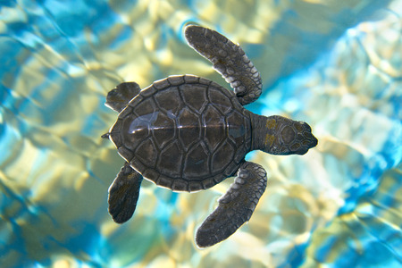Foto de Baby sea turtle swimming in water - Imagen libre de derechos