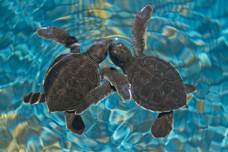 Photo for Baby sea turtles in water - Royalty Free Image
