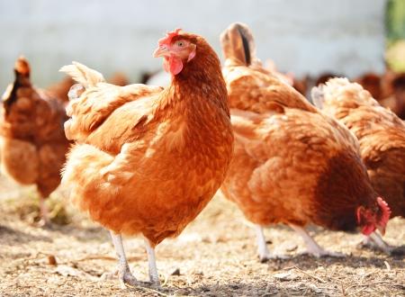 Photo pour Chickens on traditional free range poultry farm - image libre de droit