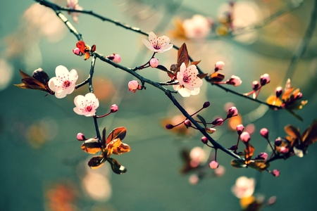 Foto de Beautiful flowering Japanese cherry - Sakura. Background with flowers on a spring day. - Imagen libre de derechos