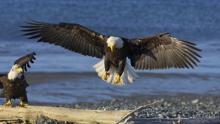 Foto de Alaskan Bald Eagle landing on beach with blue water background and wings spread wide - Imagen libre de derechos