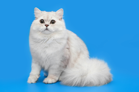 Foto de White fluffy beautiful cat on studio background - Imagen libre de derechos