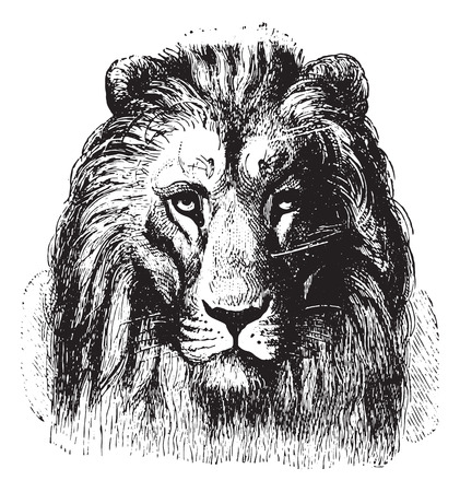 Illustration for Close up of a Lion's face, vintage engraved illustration. Animaux Sauvages et Domestiques - For kids - 1892. - Royalty Free Image