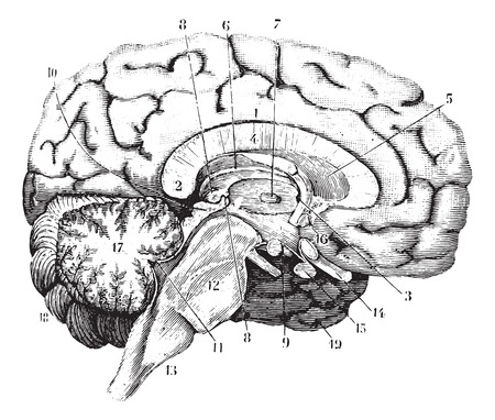 Illustration pour Middle and anterior-posterior section of the brain, vintage engraved illustration. Usual Medicine Dictionary by Dr Labarthe - 1885. - image libre de droit
