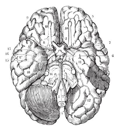 Illustration pour Base of the brain, vintage engraved illustration. Usual Medicine Dictionary by Dr Labarthe - 1885. - image libre de droit