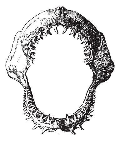 Ilustración de Shark jaw, vintage engraved illustration. Dictionary of words and things - Larive and Fleury - 1895. - Imagen libre de derechos