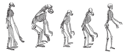 Illustration for Old engraved illustration of the comparison of greatest apes skeleton with human skeleton.  The skeletons of Gibbon, Gorilla , Chimpanzee, Orangutan with skeleton of Human isolated on a white background. Dictionary of words and things - Larive and Fleury  - Royalty Free Image
