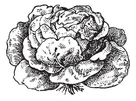 Illustration for Lettuce (Lactuca sativa), vintage engraved illustration. Dictionary of words and things - Larive and Fleury - 1895. - Royalty Free Image