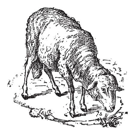Ilustración de Sheep or Ovis aries, vintage engraved illustration. Dictionary of Words and Things - Larive and Fleury - 1895 - Imagen libre de derechos