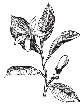 Illustration pour Orange, Flower and leaves, vintage engraved illustration. Dictionary of words and things - Larive and Fleury - 1895. - image libre de droit