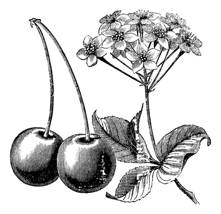 Illustration pour Cherry with leaves and flowers vintage engraving. Old engraved illustration of two cherries with leaves and flowers. - image libre de droit