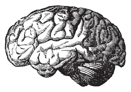 Illustrazione per The brain, vintage engraved illustration. - Immagini Royalty Free