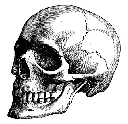 Illustration pour Skeleton of the human head, vintage engraved illustration. La Vie dans la nature, 1890. - image libre de droit