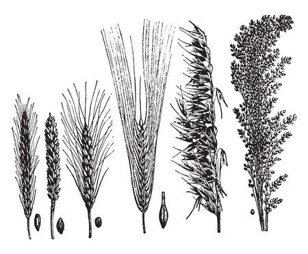 Illustration for Cereals, vintage engraved illustration. La Vie dans la nature, 1890. - Royalty Free Image