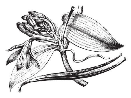Illustration for Vanilla, vintage engraved illustration. La Vie dans la nature, 1890. - Royalty Free Image