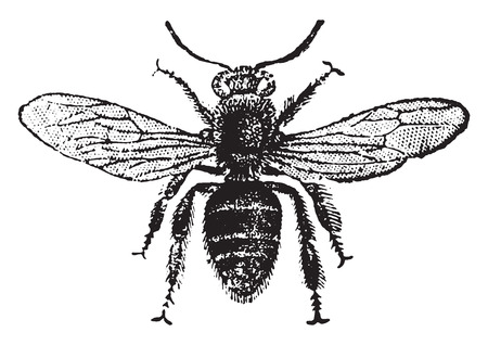 Foto de Worker bee, vintage engraved illustration. Natural History of Animals, 1880. - Imagen libre de derechos
