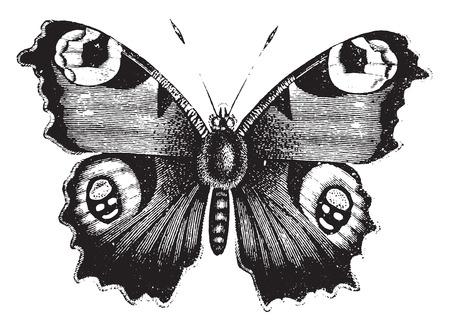 Illustration pour Vanessa peacock butterfly, vintage engraved illustration. Natural History of Animals, 1880. - image libre de droit