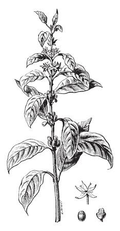 Ilustración de Twig flower coffee and fruit, vintage engraved illustration. Industrial encyclopedia E.-O. Lami - 1875. - Imagen libre de derechos