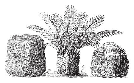 Ilustración de Fossil cycads of the muddy layers of Portland Island, vintage engraved illustration. From Natural Creation and Living Beings. - Imagen libre de derechos