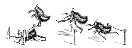Ilustración de Four fleas competing in a hurdle to race the flea in first place is crawling under a hurdle and grabbing a flag vintage line drawing or engraving illustration - Imagen libre de derechos
