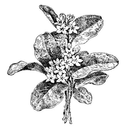 Ilustración de This picture shows Trailing Arbutus Plant. It is also called arbutus, mayflower. Creeping plant, Epigaea repens, of the heath family, having leathery, oval leaves & terminal clusters of fragrant pink, vintage line drawing or engraving illustration. - Imagen libre de derechos