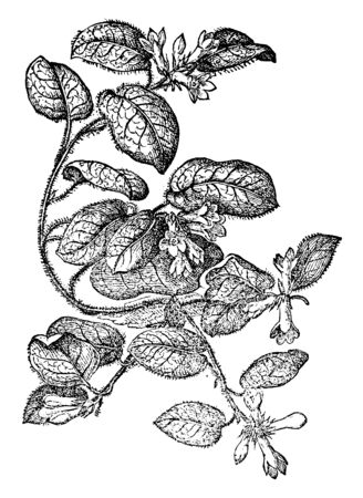 Ilustración de This picture shows Trailing Arbutus Plant. It is a spreading shrub in Ericaceae family of heaths. Oval leaves and having tiny hairs on it, terminal clusters of fragrant pink or white flowers, vintage line drawing or engraving illustration. - Imagen libre de derechos