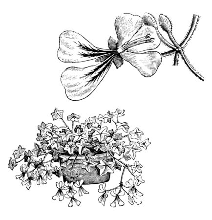 Ilustración de It is commonly grown as an ornamental plant. It is a smaller shrub which can reach 2 m in height, and its branches can be low-lying, spreading, trailing, or climbing, vintage line drawing or engraving illustration. - Imagen libre de derechos