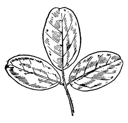 Ilustración de This is the three leaflet pairs of Trailing Bush Clover plant. The leaves are of oval shaped size, vintage line drawing or engraving illustration. - Imagen libre de derechos