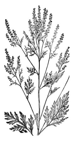 Illustration pour The Roman wormwood or small absinthe is an herb. The species name, artemisiifolia, is given because the leaves were thought to bear a resemblance to the leaves of Artemisia, vintage line drawing or engraving illustration. - image libre de droit