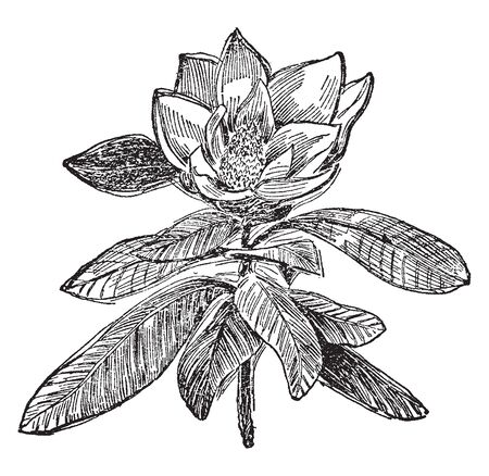 Illustration for It is a descendant of decorative bush and trees, whose many species are notable for their great beauty, beautiful flowers, and evergreen or falling leaves, vintage line drawing or engraving illustration. - Royalty Free Image