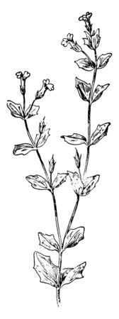 Ilustración de This picture is showing us False Pimpernel which is also known as yellow seed false pimpernel and Ilysanthes dubia it is a member of Scrophulariaceae family mostly found in wet or muddy places, vintage line drawing or engraving illustration. - Imagen libre de derechos