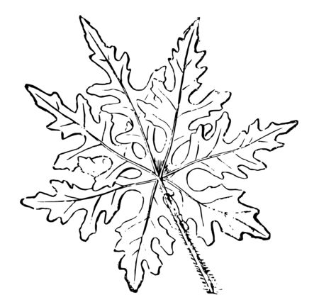 Ilustración de Leaf of Ipomoea Sinuata, genus of about 500 mostly warm-climate trees, shrubs, and twining and trailing herbaceous plants of the family Convolvulaceae with funnel-shaped flowers, vintage line drawing or engraving illustration. - Imagen libre de derechos