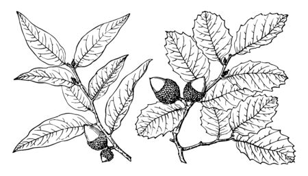 Ilustración de Interior live Oak, native to western North America. They are usually shrubby but may reach 15 to 25 m or more, vintage line drawing or engraving illustration. - Imagen libre de derechos