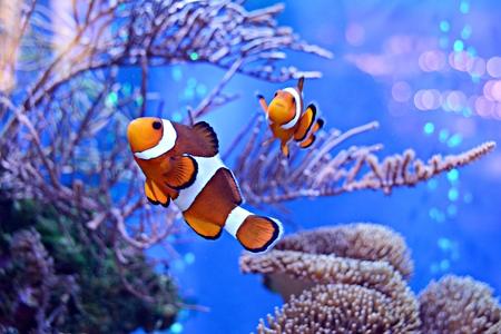 Foto de Clownfish, Amphiprioninae, in aquarium tank with reef as background - Imagen libre de derechos