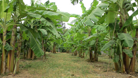 Photo pour Banana tree plantation farm in the thailand - image libre de droit