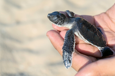 Photo for Hand holding newly hatched baby turtle - Royalty Free Image