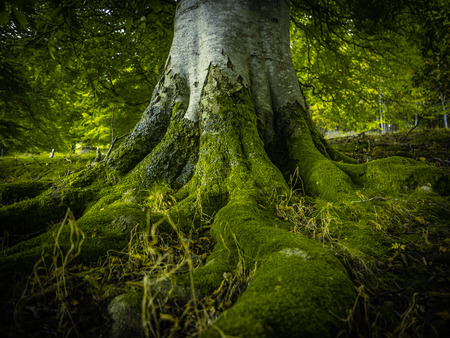 Photo for The Tree Roots Of An Ancient Birch Tree In A Beautiful Green Forest - Royalty Free Image