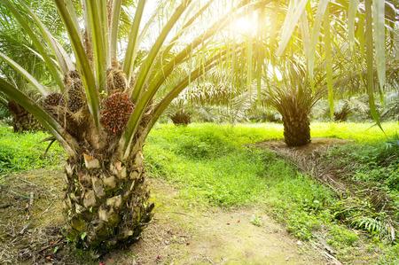Photo pour Palm oil plantation and morning sunlight - image libre de droit