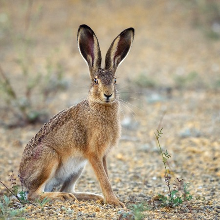 Photo pour European hare stands on the ground and looking at the camera (Lepus europaeus). - image libre de droit