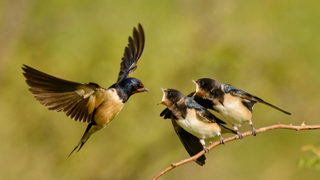 Photo for The barn swallow feeds one of its four nestling in flight. - Royalty Free Image