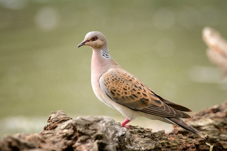 Photo for Turtle dove on a beautiful green background (Streptopelia turtur). - Royalty Free Image