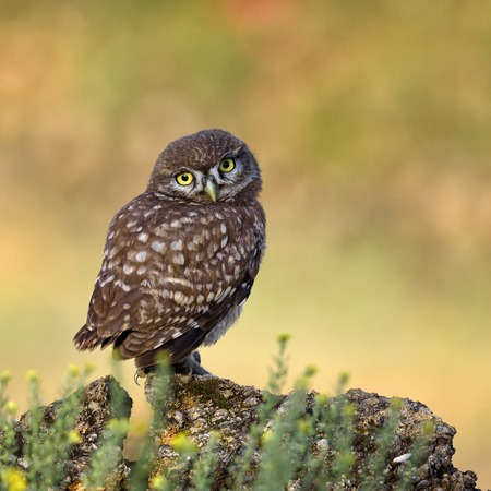 Photo for A young little owl stands on a beautiful background and looking at the camera. - Royalty Free Image