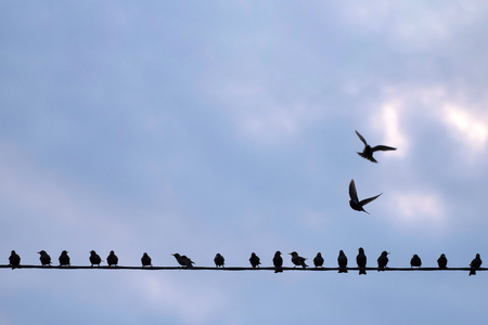 Photo for Starlings on electrical line against blue sky. With copy space. - Royalty Free Image