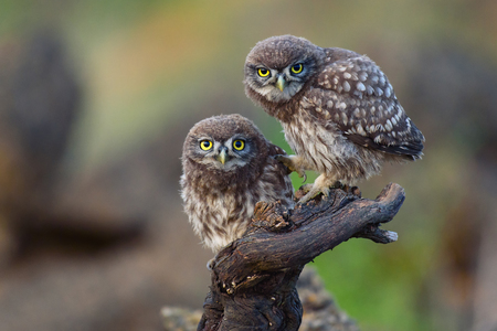 Foto de Two young little owls sit on a stick and look forward. - Imagen libre de derechos