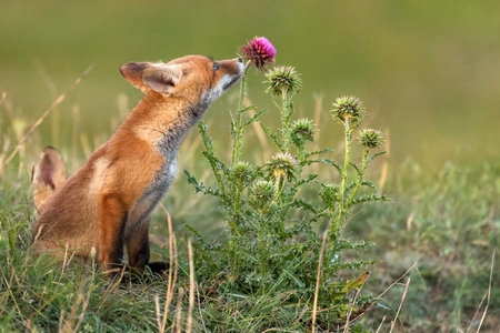 Foto de Little Red Fox near his hole sniffs a red flower. - Imagen libre de derechos