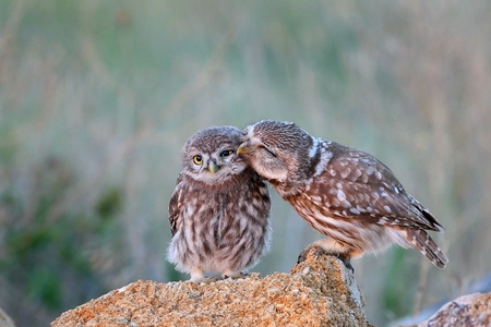 Foto de The little owl (Athene noctua) with his chick standing on a stone. - Imagen libre de derechos