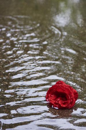 Photo pour Rosebloom with rain drops lies in the rain in a puddle - image libre de droit