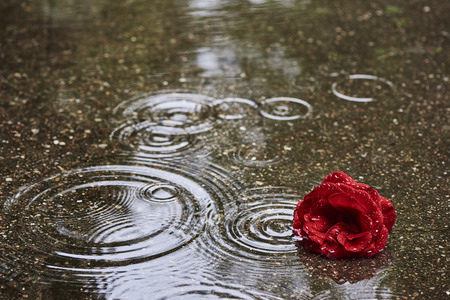 Photo pour A red rose bloom is in rainy weather in a puddle. In the puddle are circular waves of raindrops - image libre de droit