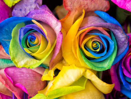 Photo pour Rainbow rose, colourful roses close-up macro shots. - image libre de droit